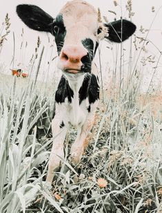 Cute Baby Cow, Baby Cows, Cute Cows, Cute Animal Memes, Cute Animal Pictures, Funny Animals, Beautiful Creatures, Animals Beautiful, Farm Animals