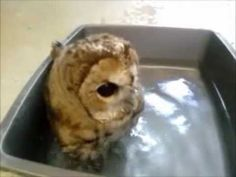 Peabody the Tawny Owl takes a bath. So cute it hurts!