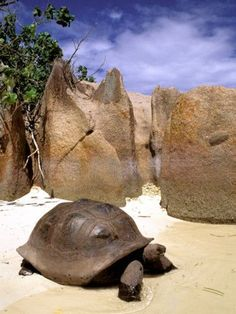 Aldabran Giant Tortoise, Curieuse Island, Seychelles, Africa