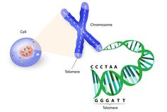 Telomere extension in cultured human cells could lead to anti-aging therapies