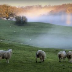 Sheep roam through misty hills in Gloucesteshire as fog englulfs various parts of the country this morning