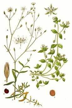 Information on the Herb Chickweed (Stellaria media) and Its Side Effects, Health Benefits and Traditional Uses in Herbal Medicine Botanical Drawings, Botanical Illustration, Flower Drawings, Art Drawings, Healing Herbs, Medicinal Plants, Botanical Flowers, Botanical Art, Illustration Botanique
