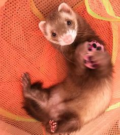 Ferrets Care, Funny Ferrets, Animals And Pets, Baby Animals, Cute Animals, Pet Ferret, Cat Pose, Kawaii, Cute Posts