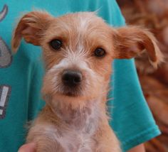 Godiva, a precious baby girl longing to be cherished, debuts for adoption today at Nevada SPCA (www.nevadaspca.org).  She is a Terrier & Toy mix, 3 months of age and spayed, and she enjoys playing with other dogs.  A man found Godiva abandoned in his backyard with no sign of responsible ownership (no ID tag, no microchip ID, not spayed).