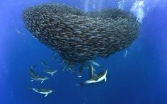 British photographer Christopher Swann captures the fascinating underwater action that takes place when sharks and dolphins prey on a school of mackerel.