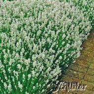 Weißer Lavendel 'Alba' - 5 Stück