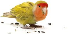 Feeding Your Pet Bird the Right Way - Bird | Pet Care Corner by PetSolutions - PetSolutions Blog