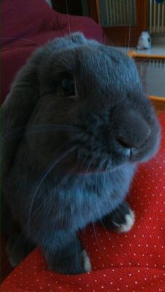 I'm Peluso!  and I'm a belier rabbit