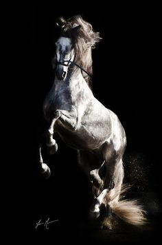 ♂ black background photography Horse Awesome animal photography