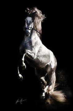 ♂ black background photography Horse Awesome animal photography
