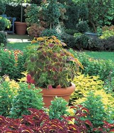 Learn how to care for coleus plants in your garden and discover colorful coleus varieties to add to shady beds, sunny borders and containers.