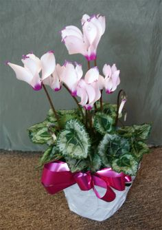 Cyclamen 5 Flowering House Plant Plants Indoor Flowers