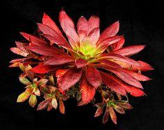 Mágica Aeonium negra.  Fotografia: Surreal Succulents.