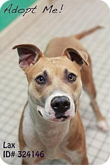 Camden, DE - American Pit Bull Terrier Mix. Meet Lax, a dog for adoption. http://www.adoptapet.com/pet/11721622-camden-delaware-american-pit-bull-terrier-mix