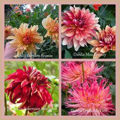 marieke nolsen Dahlia, Garden, Plants, Blog, Garten, Gardening, Dahlias, Blogging, Plant