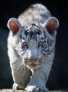 -tiger cub...fav. xoxoxoxo