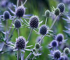 Eryngium (Sea Holly) - Blue thistle like flowers. White sea holly is called Miss Willmott's ghost. Herbaceous Border, Herbaceous Perennials, Sun Perennials, Cut Flowers, Wild Flowers, Rosen Beet, Sea Holly, Holly Blue, Dream Garden