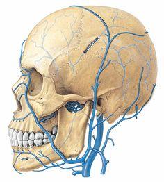 Sistema venoso extra - craneal