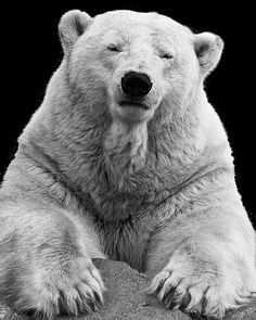 Mighty and gentle polar bear Amazing Animal Pictures, Bear Pictures, Love Bear, Big Bear, Arctic Animals, Cute Animals, Photo Portrait, Tier Fotos, Bear Doll