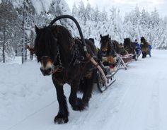Nordsvensk horse - Bristol leading the pack. Swedish horse