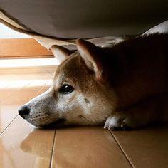 #犬  #hana  #豆 #豆柴 #柴犬  #はなちゃん  #愛犬 #dog  #shibainu  #inu #shiba #japan #雨 #散歩 #雨で散歩行けない #雨嫌い