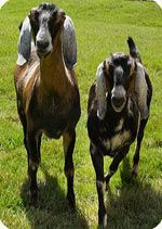 Goats: info for kids Also, see this link for a fun Goat activity: file:///C:/Users/panddshea/Downloads/FamEd-Activity%206-Three%20Billy%20Goats%20Gruff.pdf