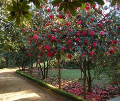 Beautiful camelia trees