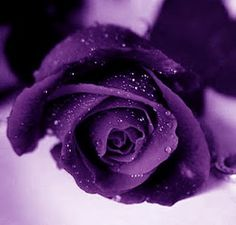 Fascination: The purple rose!