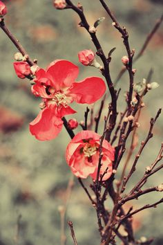 flowering quince ~ I have 3, but only 1 bears fruit...  wonder why?  ~ I should make some quince jelly <3