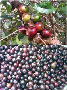 Lukluki (লুকলুকি, টরফই, পাইন্যাগুলা), Tipa Fol (টিপা ফল) - Indian Plum, Coffee Plum -Flacourtia Jangomas