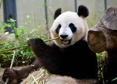 สวนสัตว์ญี่ปุ่นเฮ เจ้าชินชิน แพนด้าเพศเมีย แห่งสวนสัตว์อูเอโนะ 'แพนด้า' ส่อเค้าตั้งท้อง