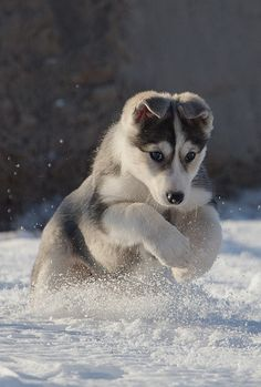 "Husky: ""This is where I was born to be!"" (From Lynn: A Superb Shot ~ Kudos to The Photographer!)"