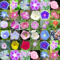 MORNING GLORY mix, over 20 different varieties 100 seeds