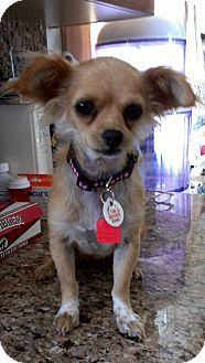 Chihuahua/Wirehaired Fox Terrier Mix