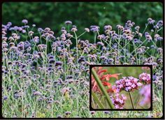 Verbena bonariensis - A Plant that Makes Other Plants Look Great: How to Grow Tall Verbena (Verbena bonariensis