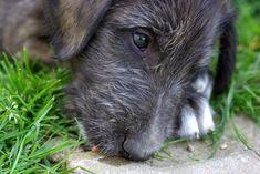 irish wolfhound - Google Search