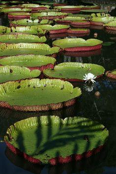 Giant water lilies, Sir Seewoosagur Ramgoolam Botanical Gardens