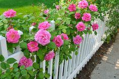Роза была и остается одним из самых прекрасных и нежных цветков