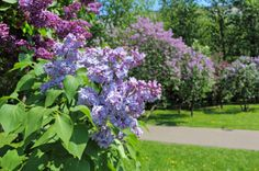 As with many flowering shrubs the best time to prune a lilac is right after they finish flowering. This is a guide about pruning a lilac bush. Tree Transplanting, Lilac Plant, Gardening For Dummies, Gardening Hacks, Hydrangea Bush, Hydrangeas, Lilac Tree, Lilac Bushes, Patio Plants