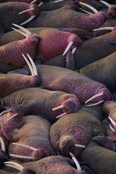 #Walruses on the beach by Joel Sartore