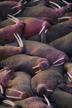 #Walruses on the beach by Joel Sartore