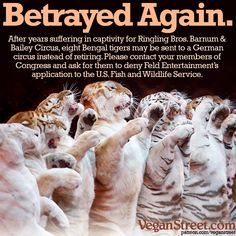 These tigers have suffered long enough. Please contact your members of Congress and ask them to deny Feld Entertainment's (which owns Ringling Brothers) permit application to the U.S. Fish and Wildlife Service to send eight tigers to a German circus.  ---> Find your members of Congress here: https://www.govtrack.us/congress/members