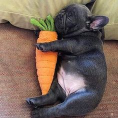 @polospreadslove So tired you don't carrot anyone thinks.  Tag someone sleeping! •••••••••••••••••••••••••••••••••••••••••••• #LOVEABULLY all caps for features!...