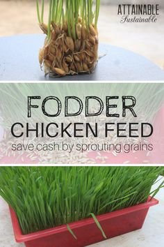 Cut your animal feed costs substantially by sprouting grains like oats, wheat, or barley into fodder. It's great for chickens and other livestock on your homestead.