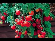 Высокоурожайные балконные помидоры - YouTube