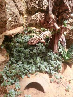 My Leopard gecko