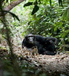 Chimpanzee in Mahale, Tanzania