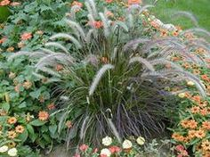 Pennisetum setaceum 'Rubrum' - Plant Finder