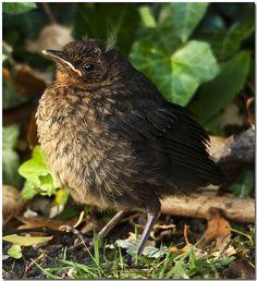 Blackbird Fledgling (1) From: FlickR, please visit