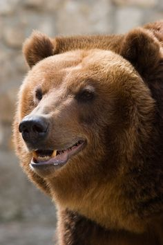 Habitat loss due to logging, development and mining has affected the Grizzly Bear in northwestern United States, and as a result, the Grizzly Bear is listed as threatened in the U. In Canada, human activity is also affecting the grizzly population. Canadian Animals, Canadian Wildlife, Predator Hunting, Animal Totems, Popular Culture, Native American Indians, Brown Bear, Mammals, Habitats